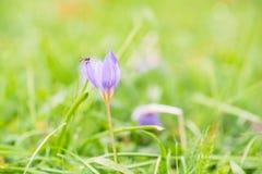 A abelha ou a mosca no açafrão selvagem bonito florescem no outono Fotos de Stock