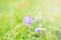 A abelha ou a mosca no açafrão selvagem bonito florescem no outono Imagem de Stock