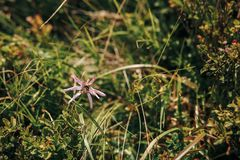 A abelha ou tropeça a abelha no wildflower cor-de-rosa bonito na montanha ensolarada imagens de stock royalty free