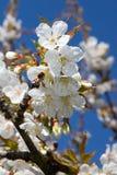 A abelha ou a vespa de voo pilham uma flor de cerejeira na primavera imagens de stock royalty free