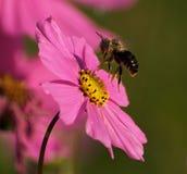 Abelha pela flor Imagens de Stock Royalty Free