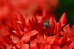 A abelha pequena Foto de Stock Royalty Free