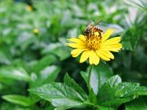 Abelha pequena na flor amarela no jardim Fotos de Stock Royalty Free