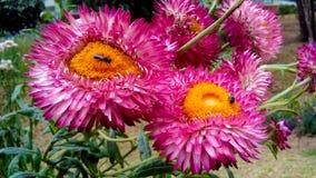 Abelha pequena na flor roxa róseo do dahila Imagem de Stock