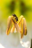 Abelha pequena na flor selvagem Fotos de Stock