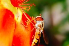 Abelha pequena que recolhe o pólen de uma flor vermelha no jardim Fotos de Stock Royalty Free
