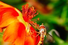 Abelha pequena que recolhe o pólen de uma flor vermelha no jardim Imagens de Stock Royalty Free