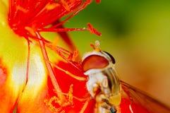 Abelha pequena que recolhe o pólen de uma flor vermelha no jardim Imagem de Stock