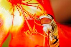 Abelha pequena que recolhe o pólen de uma flor vermelha no jardim Fotos de Stock