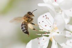 A abelha poliniza Fotos de Stock