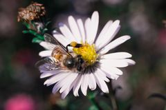 A abelha poliniza flores, foto macro imagem de stock
