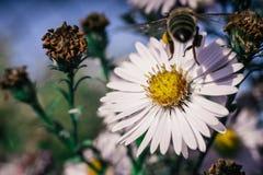 A abelha poliniza flores, foto macro fotos de stock royalty free