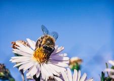 A abelha poliniza flores, foto macro imagens de stock