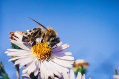 A abelha poliniza flores, foto macro imagem de stock royalty free