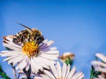 A abelha poliniza flores, foto macro imagens de stock royalty free