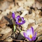 A abelha poliniza o açafrão Imagem de Stock Royalty Free