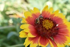 A abelha procura pelo pólen no coração de flores vermelho-amarelas Imagem de Stock