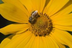 Abelha que alimenta na flor amarela Imagens de Stock Royalty Free