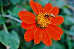 Abelha que alimenta na flor vermelha Fotos de Stock