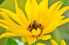 Abelha que coleta o néctar Fotografia de Stock