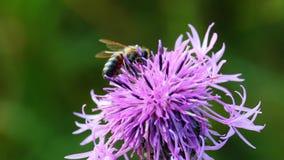 Abelha que extrai o néctar da flor do cardo filme