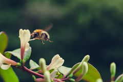 Abelha que paira sobre a flor Imagem de Stock
