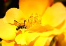 Abelha que poliniza a flor Fotografia de Stock