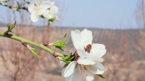Abelha que poliniza a flor branca da amêndoa no pomar, close-up vídeos de arquivo