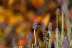 Abelha que poliniza a flor da alfazema Fundo da natureza da poliniza??o do ver?o fotografia de stock