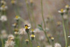Abelha que poliniza flores Foto de Stock Royalty Free