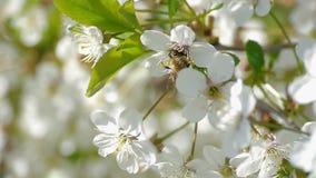 A abelha que poliniza flores bonitas de florescência do verão da natureza do movimento lento das flores da mola das árvores recol filme