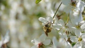A abelha que poliniza flores bonitas de florescência do verão da natureza do movimento lento das flores da mola das árvores recol vídeos de arquivo
