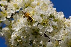 Abelha que poliniza nas flores brancas fotografia de stock