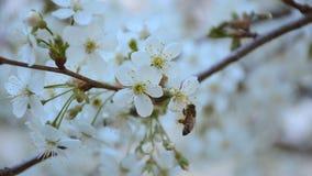 Abelha que poliniza o jardim da árvore de cereja na primavera Imagens de vídeo 1080p de HD video estoque