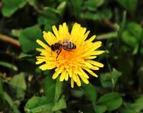 Abelha que poliniza uma flor amarela imagem de stock royalty free