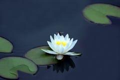 Abelha que poliniza uma flor branca dos lótus na água imagens de stock royalty free