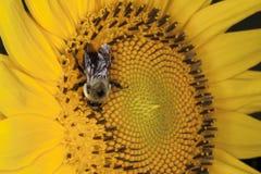 Abelha que Pollinating uma flor fotos de stock