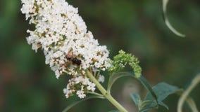 Abelha que rasteja ao longo do botão de um macro branco da flor da mola fim da natureza da mola acima polinização de plantas de f video estoque