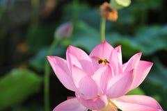 A abelha que recolhe a flor de lótus néctar-vermelha é lindo Imagens de Stock Royalty Free