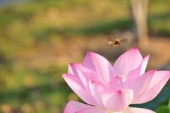 A abelha que recolhe a flor de lótus néctar-vermelha é lindo Foto de Stock Royalty Free