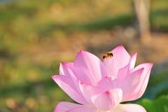 A abelha que recolhe a flor de lótus néctar-vermelha é lindo Fotografia de Stock Royalty Free
