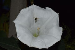 Abelha que recolhe o mel de uma flor de noite em um jardim Fotografia de Stock Royalty Free