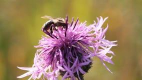 Abelha que recolhe o néctar da flor do cardo video estoque