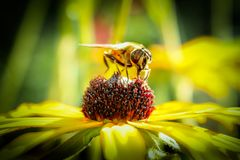 Abelha que recolhe o néctar de uma flor imagens de stock