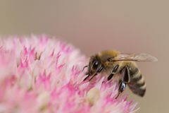 Abelha que recolhe o pólen da flor fotografia de stock royalty free