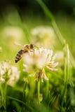 Abelha que recolhe o pólen da flor Imagem de Stock