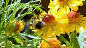 Abelha que recolhe o pólen de uma margarida amarela vibrante Fotografia de Stock Royalty Free