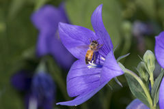 Abelha que recolhe o pólen dentro de uma flor Foto de Stock