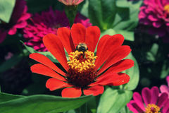 Abelha que recolhe o pólen em zinnias vermelhos na temporada de verão Imagem de Stock Royalty Free
