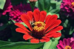 Abelha que recolhe o pólen em zinnias vermelhos na temporada de verão Imagens de Stock Royalty Free